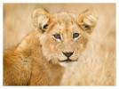 LionCub1754c_Dec29_2011