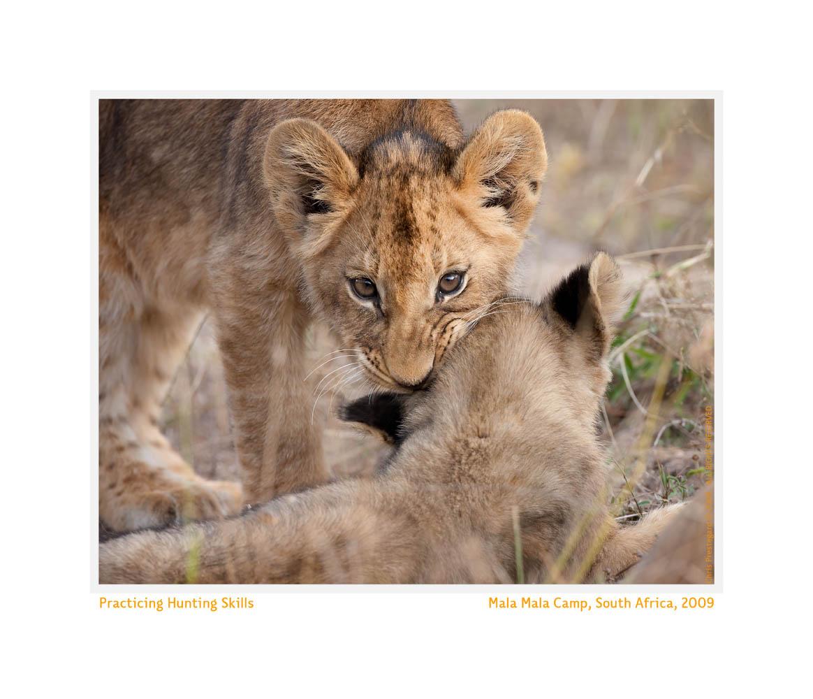 LionCub244bHunting_Jun23-09