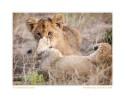 LionCub2783c_Aug27-09