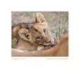 LionCub516bHurt_Jun23-09