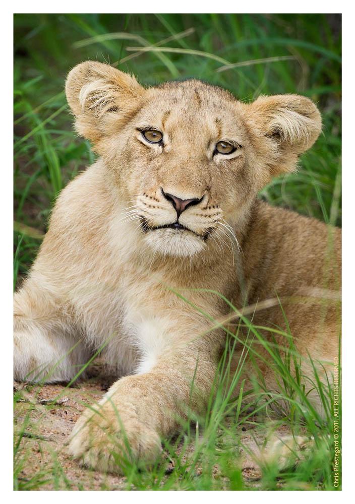 LionCub7569B_Apr21-2011
