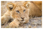 LionCub8808_Aug14-2011