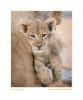 LionCubBot09-1782Age2_Sept4-2010