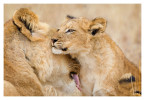 LionCubs1326_Aug11-2011