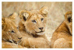 LionCubs1718_Aug11-2011