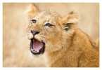 LionCubs1767_Aug10-2011