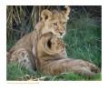 LionCubs3052_9-15-07