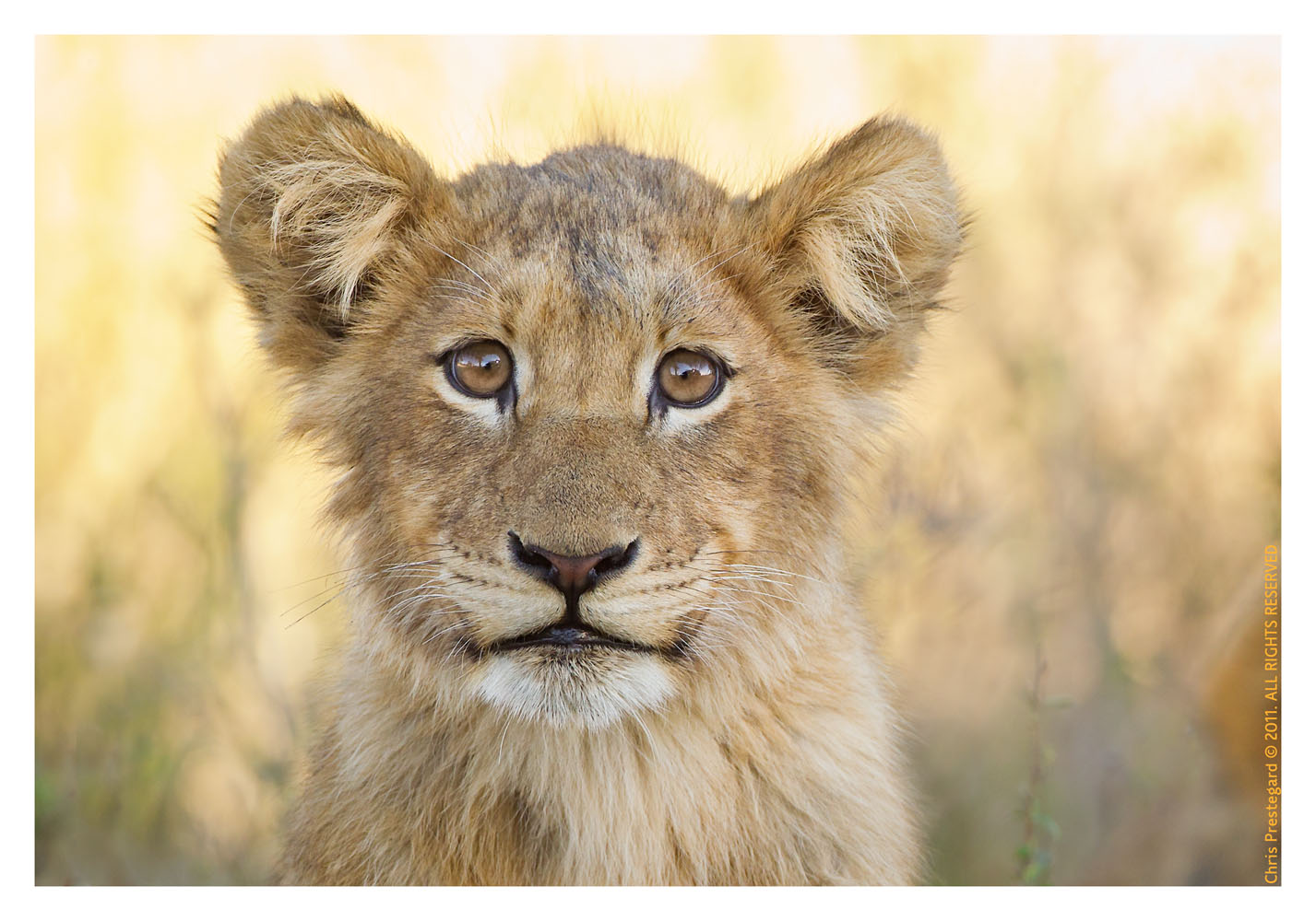 LionCubs3842_Aug10-2011