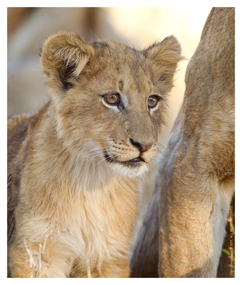 LionCubs3986_Aug9-2011