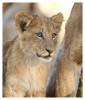 LionCubs3986_Aug9-2011
