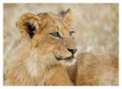LionCubs4713__Aug11-2011