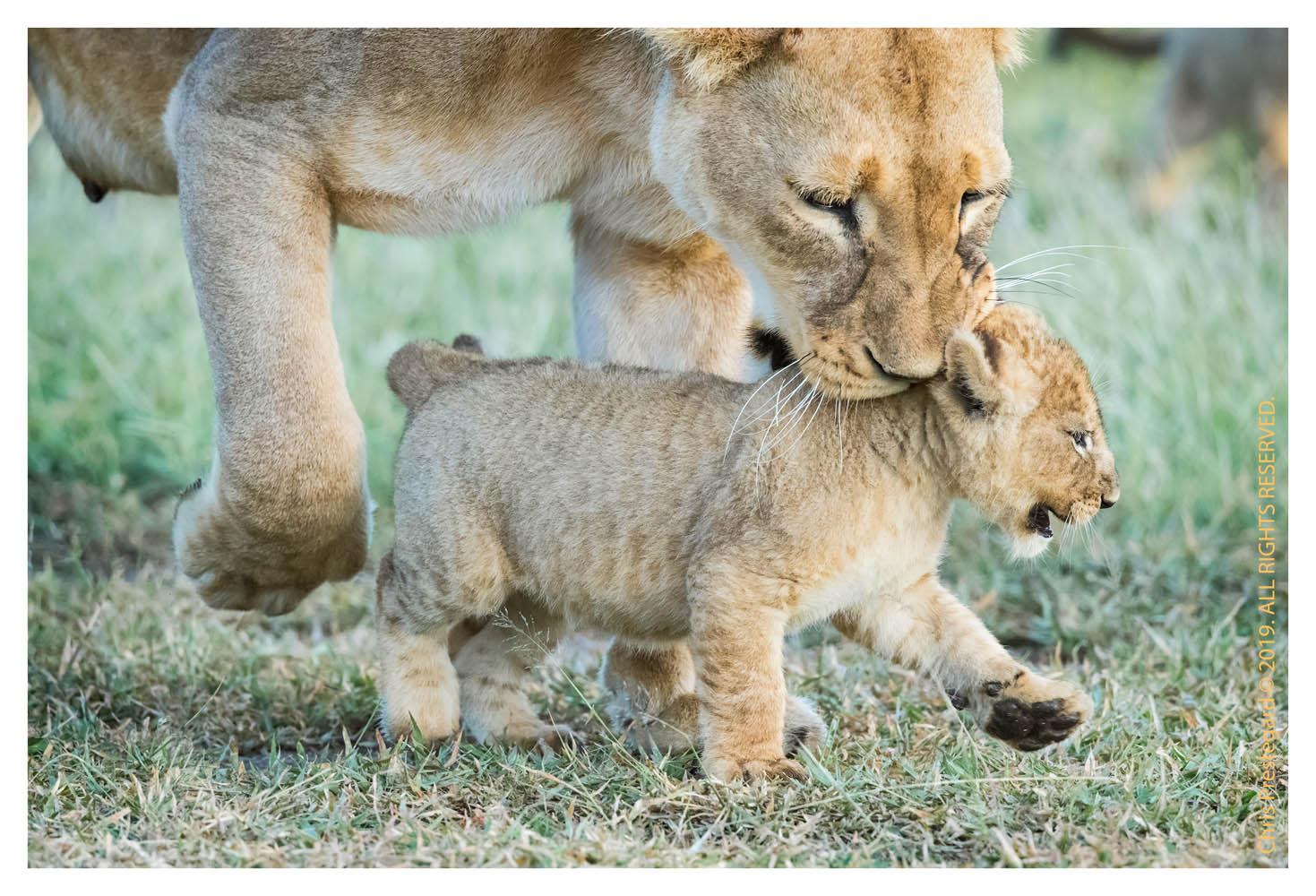 Lion cubs at Ndutu, Tanzania in Feb. 2019