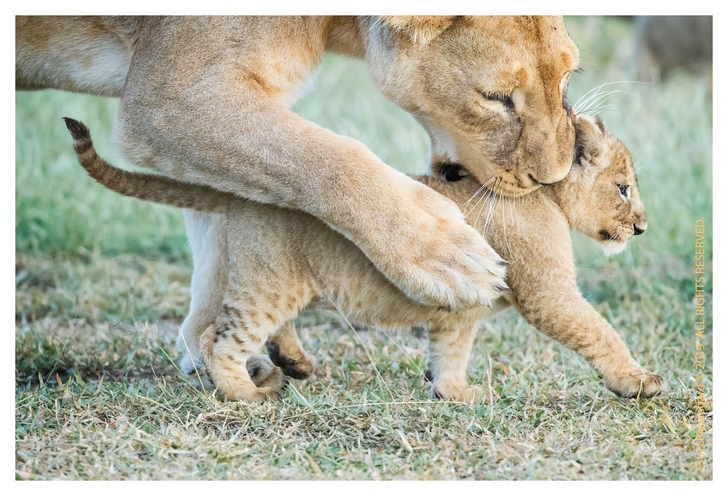 Lion cubs at Ndutu, Tanzania in Feb. 2019