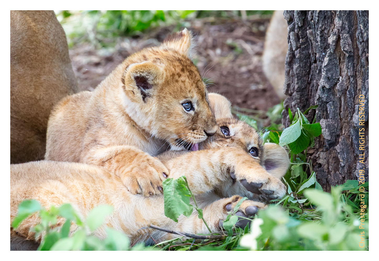 Lion cubs at Ndutu, Tanzania Feb. 2016