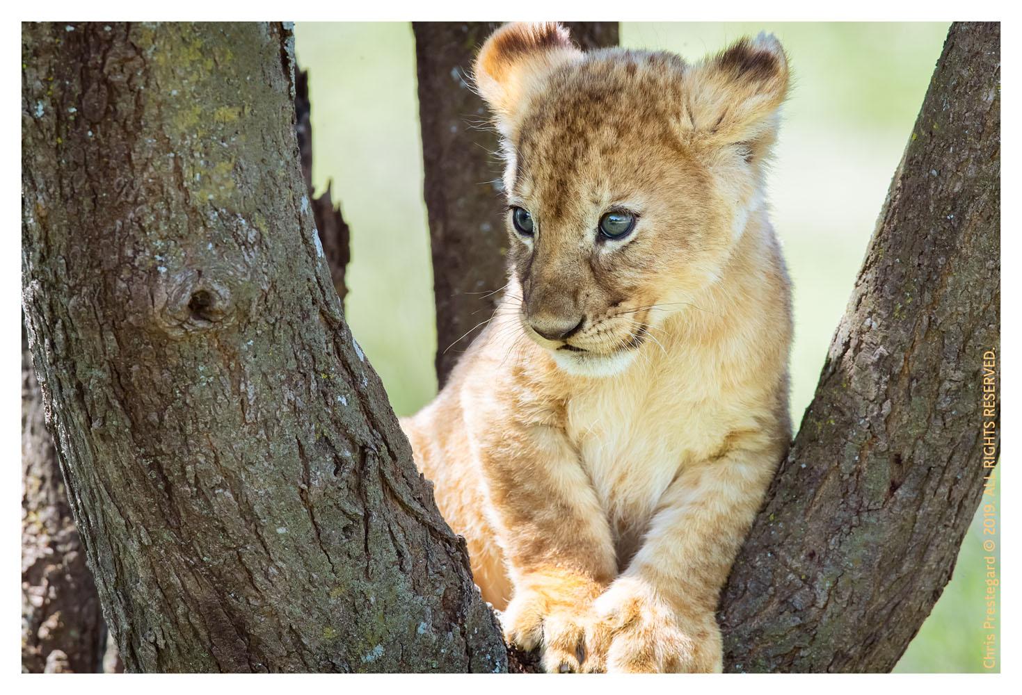 Lion cubs at Ndutu, Tanzania Feb. 2019