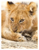 LionCubs8059_Aug11-2011