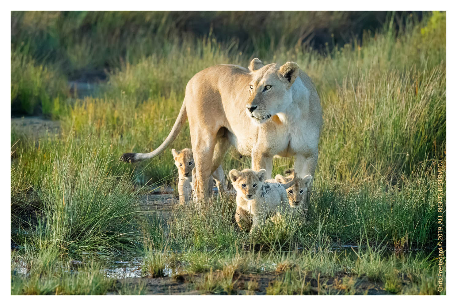 Lion cubs at Ndutu, Tanzania Feb. 2018
