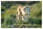 Lion cubs at Ndutu, Tanzania Feb. 2018