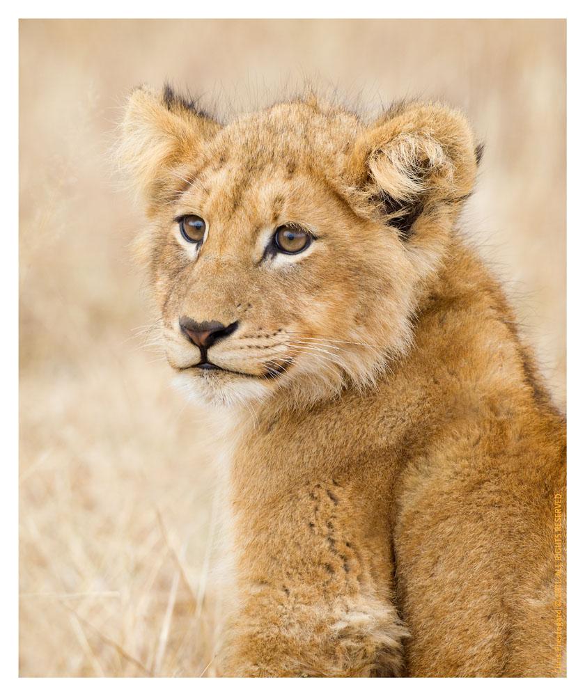 LionCubs985_Aug9-2011