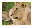 Lioness7262_9-15-07