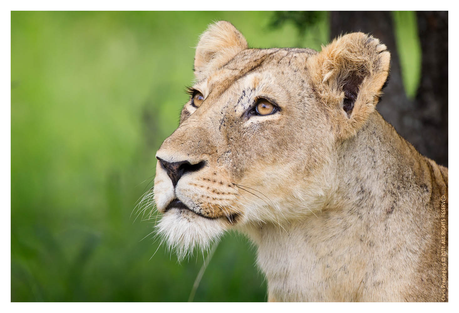 Lioness7734B_Apr21-2011