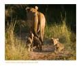 LionessCubs3895_9-15-07