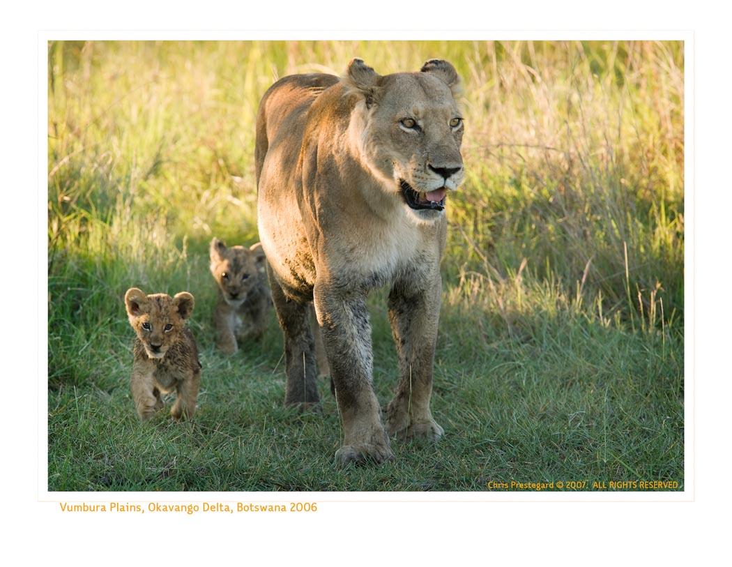 LionessCubs3951_9-18-07