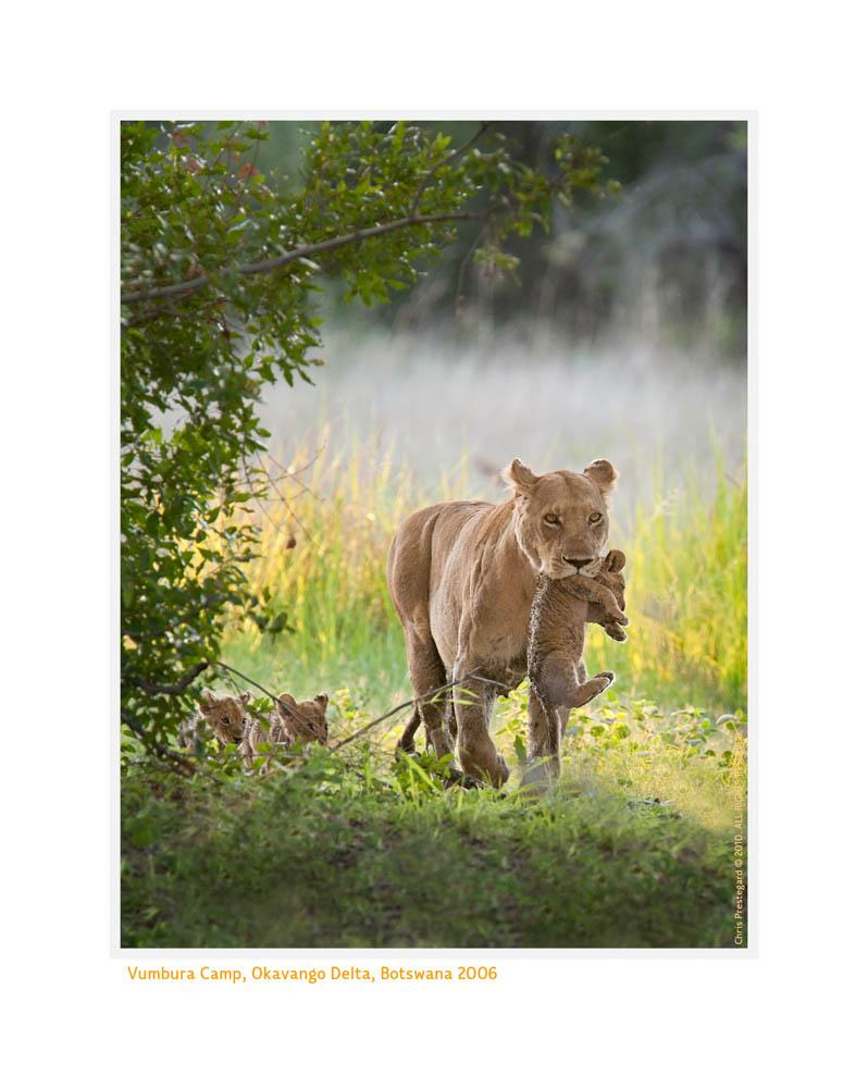LionessCubs3981Scene_Aug29-2010