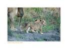 LionessCubs4035Walk_Aug29-2010