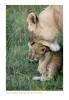 LionessCubs4131_9-17-07