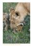 LionessCubs4132_9-17-07