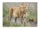 LionessCubs4177_10-13-07