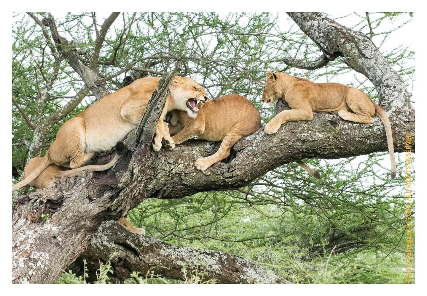 Lions at Ndutu, Tanzania Feb. 2016