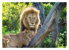 Lions at Ndutu, Tanzania Feb. 2016