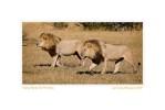 Lions831d_Aug25-08