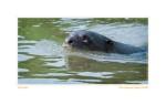 Otter6283_Aug20-09