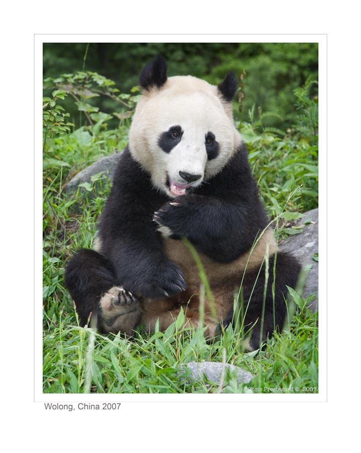 Panda5135_9-15-07
