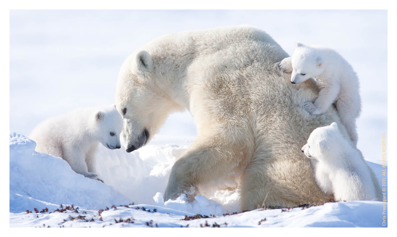 PolarBear2010-6767C_Apr23-2011