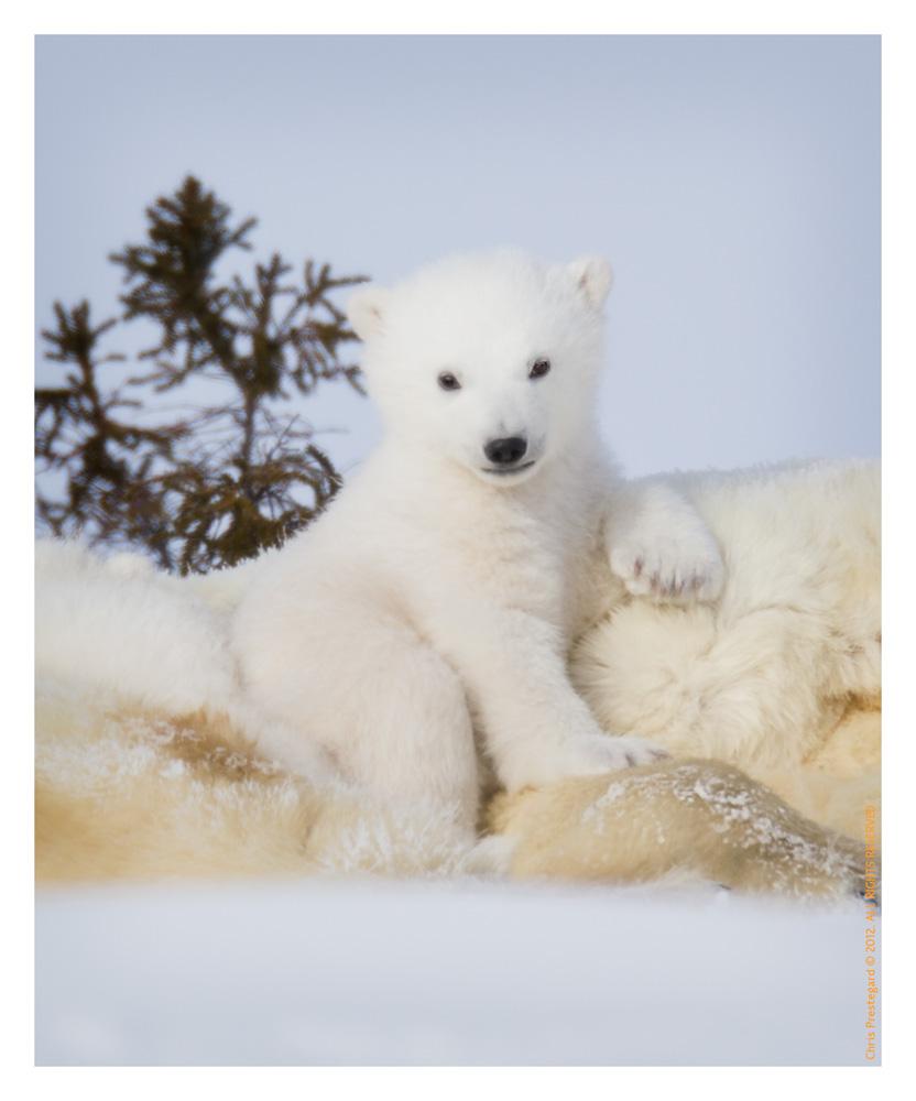 PolarBear3710-May17-2012