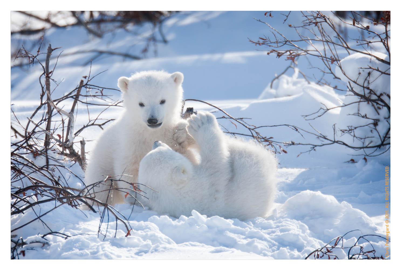 PolarBear3774C_Apr22-2011