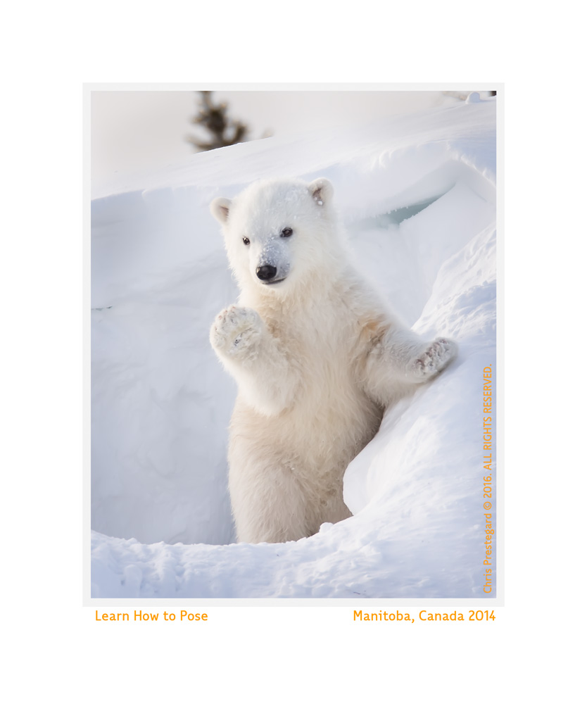 Polar Bear Cub, Wapusk National Park, Canada Mar. 2014