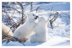 PolarBear3888C_Apr22-2011