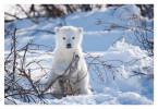 PolarBear3936C_Apr22-2011