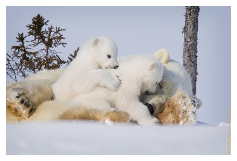 PolarBear4098-May17-2012
