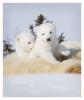 PolarBear4270_May22-2012