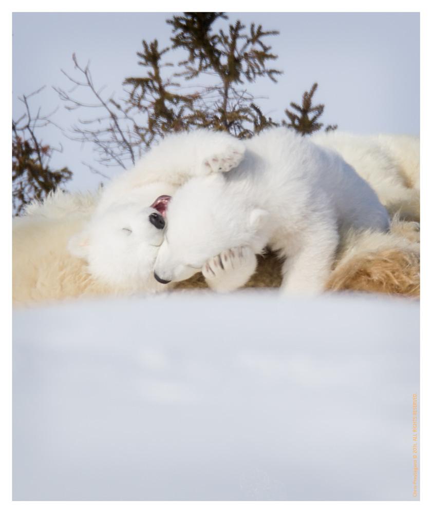 PolarBear4306b-May17-2012