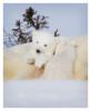 PolarBear43287-May17-2012