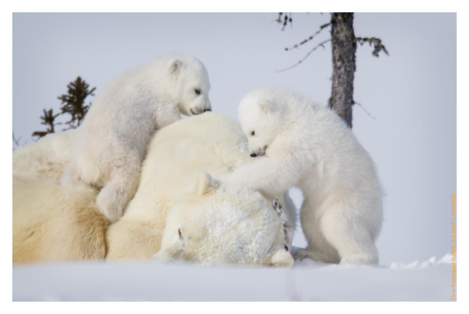 PolarBear4646-May22-2012
