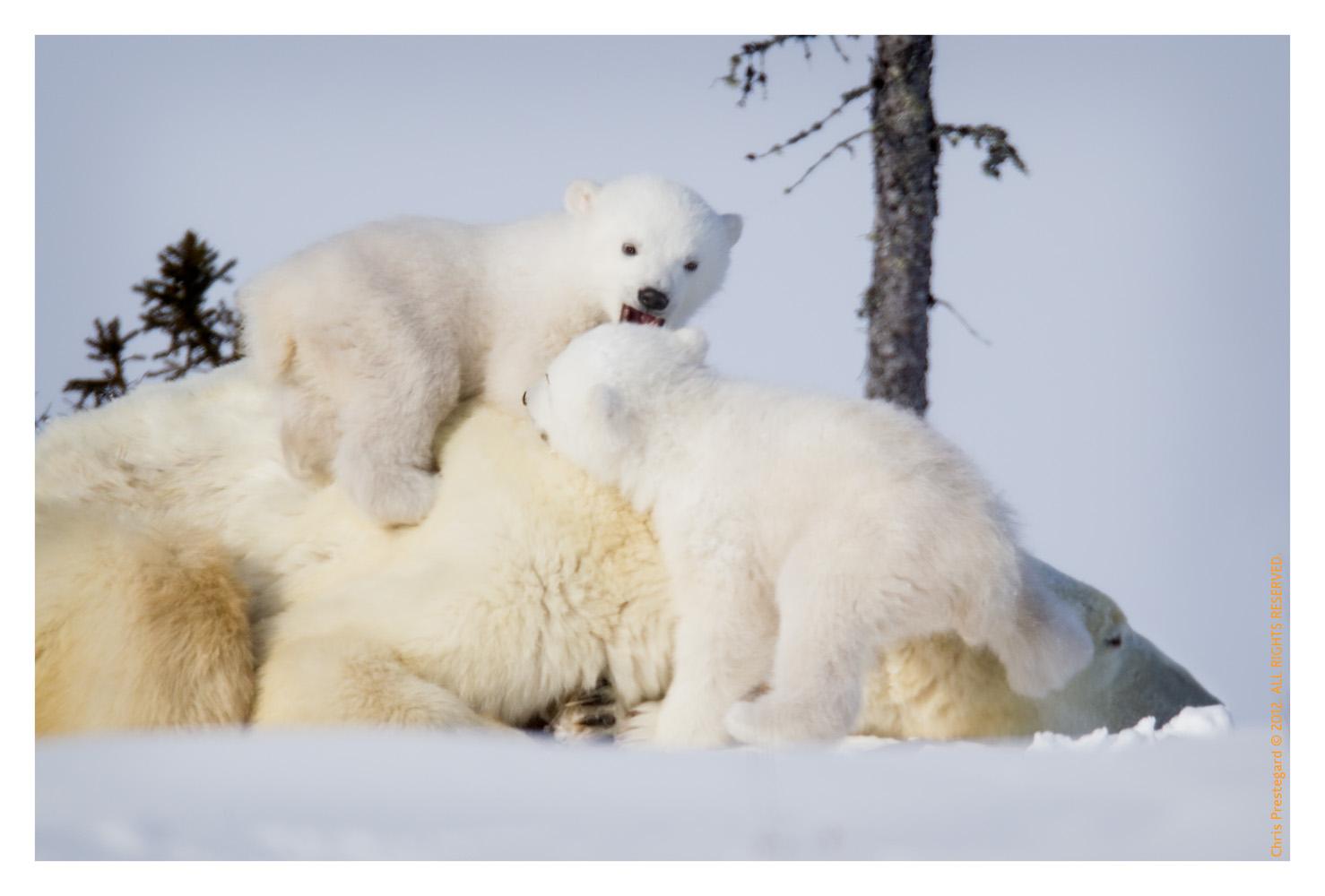 PolarBear4661-May22-2012