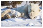 PolarBear4861-May17-2012